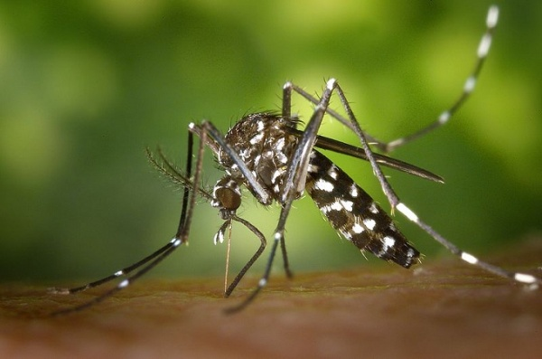 Tigrasti-komarac