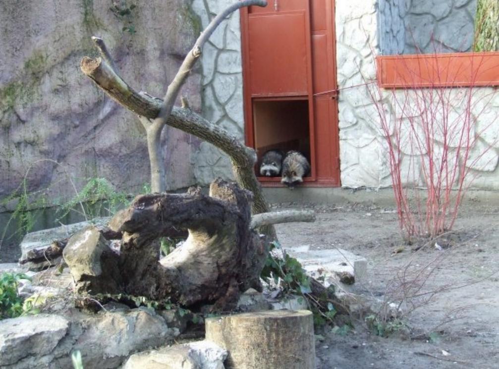Tokom novembra protekle godine iz segedinskog zoološkog vrta u palićki zoološki vrt stigle su dve šestomesečne jedinke rakunolikih pasa (Nyctereutes procyonoides). U pitanju su mužjak…